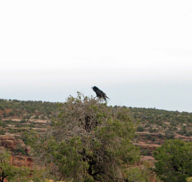 Raven on Rim of Canyon de Chelly by Gary Fillmore