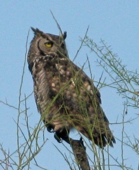 Cave Creek AZ Great Horned Owl by Gary Fillmore