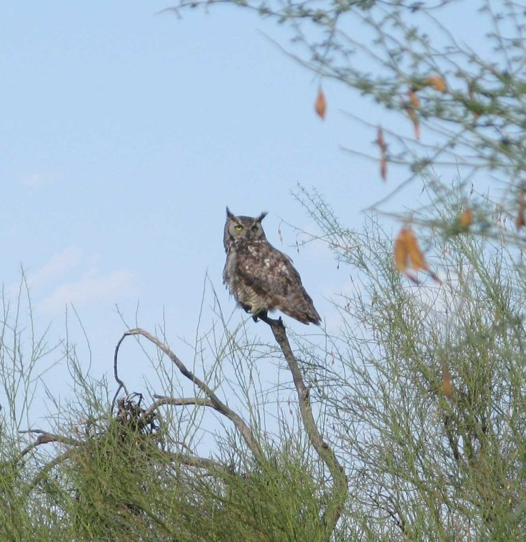 Great Horned Owl Cave Creek AZ profile by Gary Fillmore